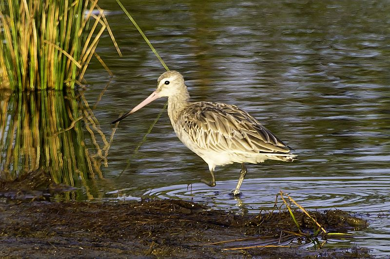 Photograph of Bar-tailed Godwit