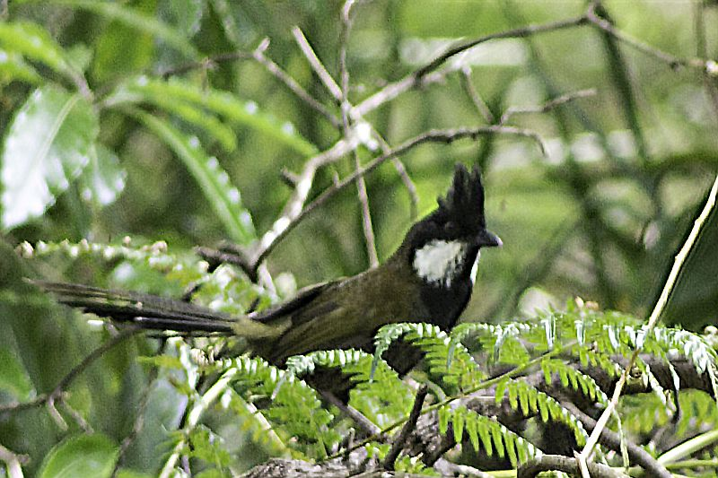Photograph of Eastern Whipbird