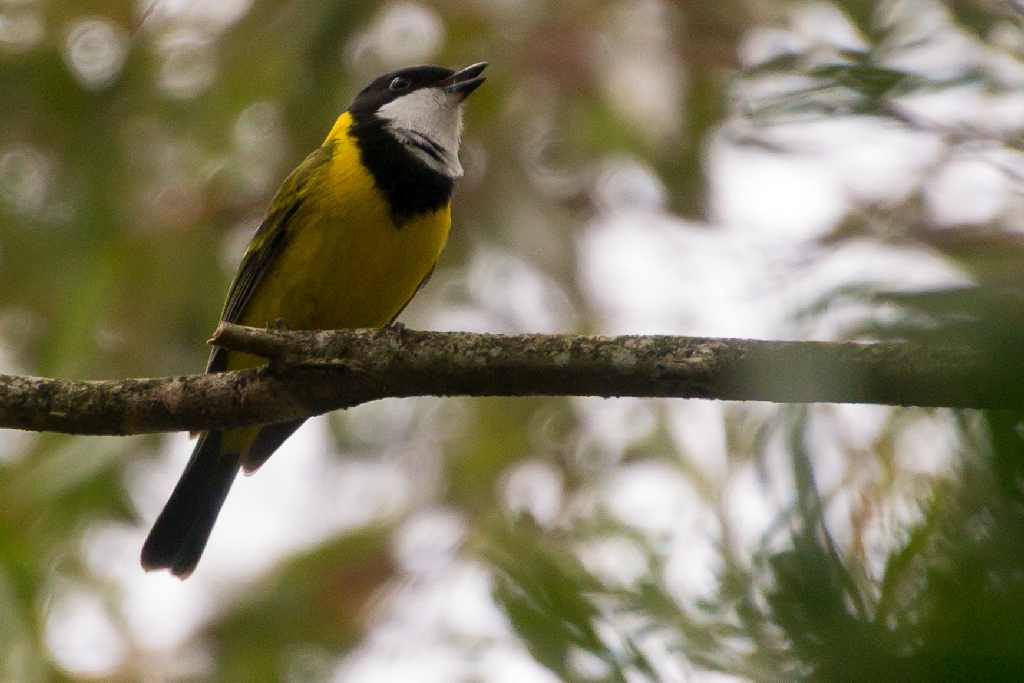 Photograph of Golden Whistler