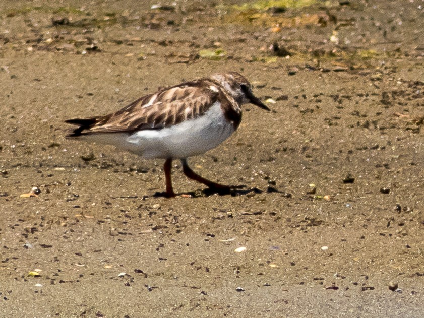 Photograph of Ruddy Turnstone