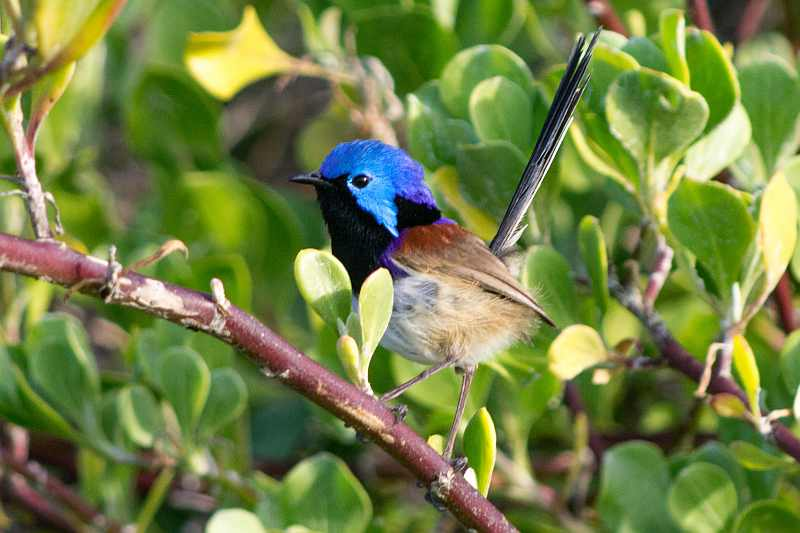 Photograph of Variegated Fairy-wren