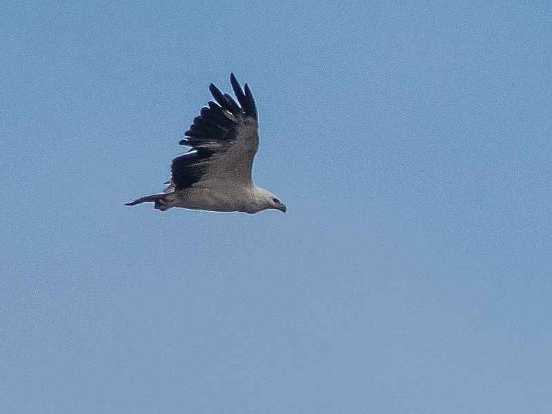 Photograph of White-bellied SeaEagle, Lake Wollumboola, Culburra Beach, Shoalhaven, south coast NSW, Australia