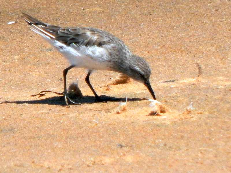 Photograph of White-rumped Sandpiper